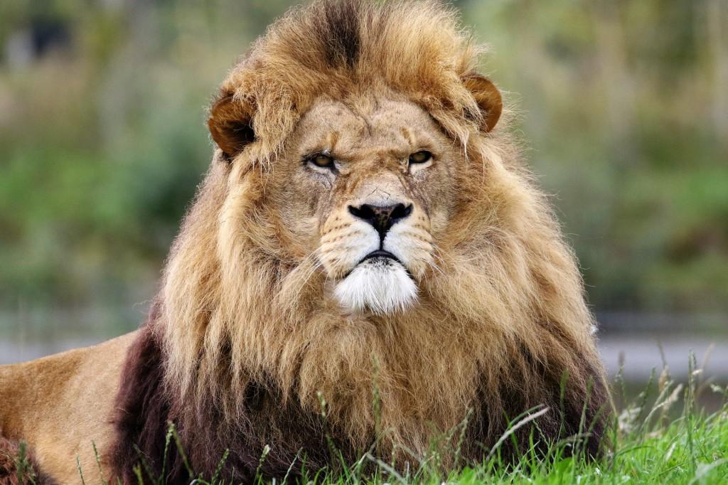 lion-1657947_1920